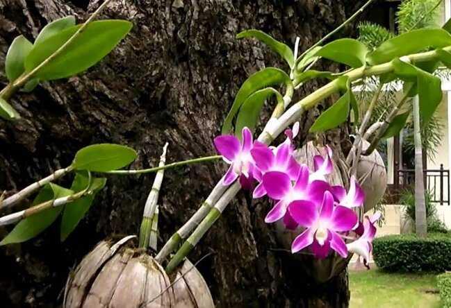 Contoh Gambar Simbiosis Komensalisme Anggrek dan Pohon Mangga