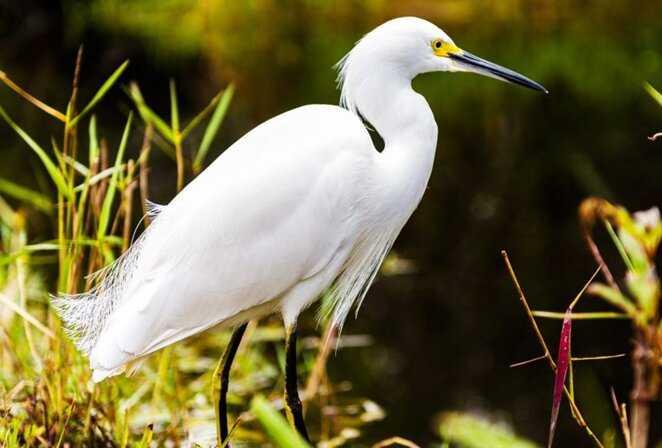 Contoh Gambar Simbiosis Komensalisme Burung Kuntul dan Hewan Ternak Herbivora