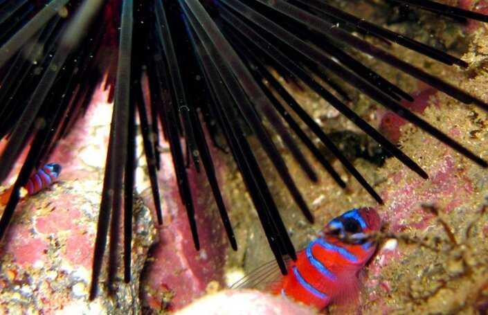 Contoh Gambar Simbiosis Komensalisme Ikan Gobi dan Landak Laut