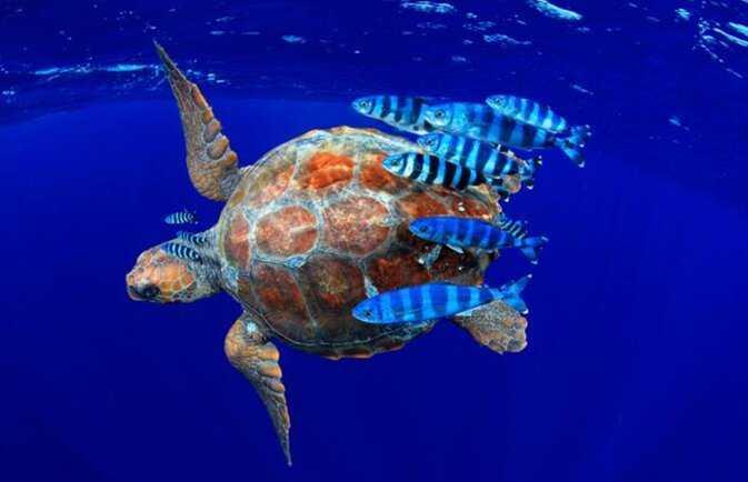 Contoh Gambar Simbiosis Komensalisme Ikan Pilot dan Penyu