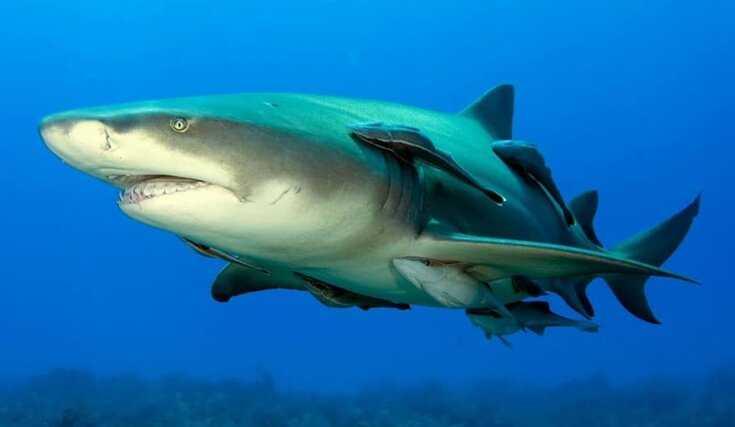 Contoh Gambar Simbiosis Komensalisme Ikan Remora dan Ikan Hiu