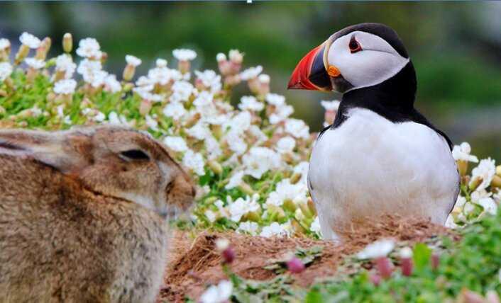 Contoh Gambar Simbiosis Komensalisme Puffin Atlantic dan Kelinci