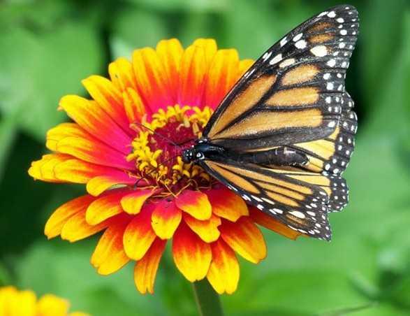 Contoh Gambar Simbiosis Mutualisme Kupu Kupu dan Bunga