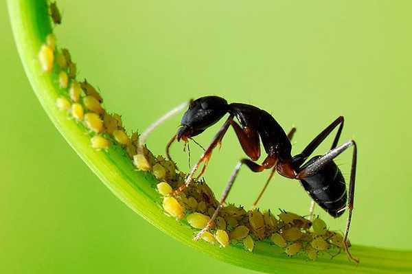 Contoh Gambar Simbiosis Mutualisme Semut dan Kutu Daun
