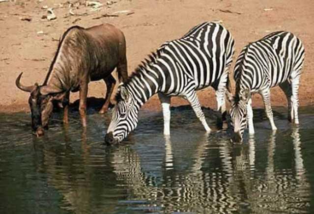 Contoh Gambar Simbiosis Mutualisme Wildebeest dan Zebra
