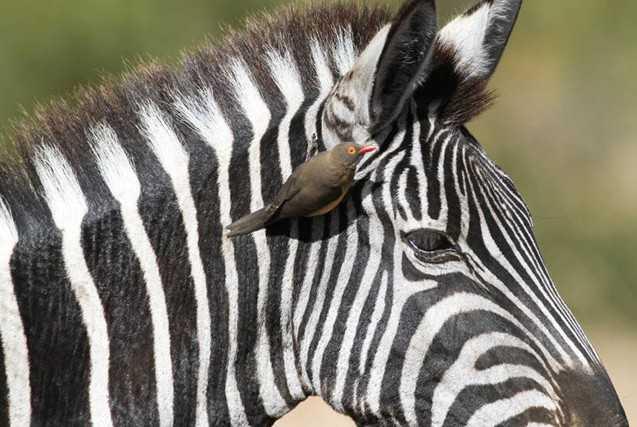 Contoh Gambar Simbiosis Mutualisme Zebra dan Burung Oxpecker