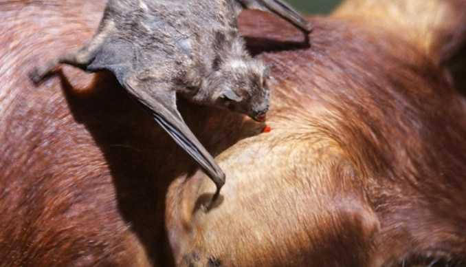 Contoh Gambar Simbiosis Parasitisme Kelelawar Vampir dan Hewan Mamalia