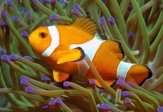 Simbiosis Komensalisme Ikan Badut dan Anemon Laut