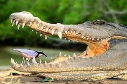 Simbiosis Mutualisme Buaya dan Burung Plover
