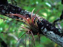 Simbiosis Parasitisme Tanaman Benalu dan Pohon Inang