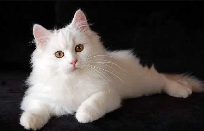 Cara Merawat Kucing Persia Yang Tepat dan Mudah