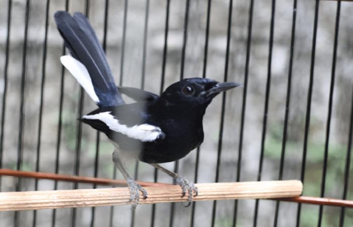 Cara Merawat Burung Kacer Agar Rajin Berkicau Saat dirumah dan Lomba Ala Duniakicau net