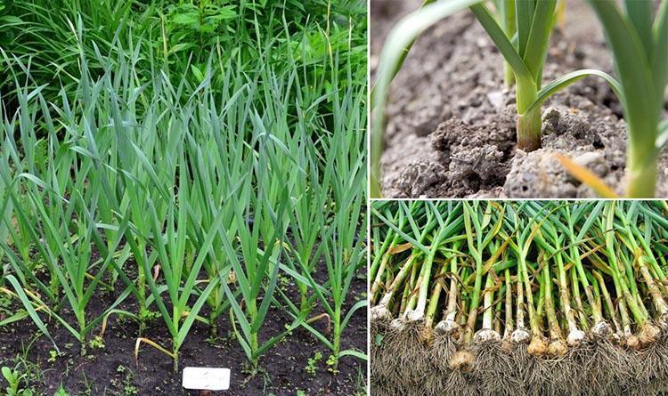 Gambar 2-Tanaman bawang putih
