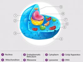 Gambar Struktur Bagian Sel Hewan dan Contoh Penjelasan Fungsinya