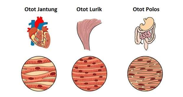 Pengertian Otot Adalah Fungsi, Jenis, Struktur dan Komponen