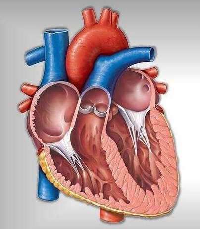 Pengertian Otot Jantung Adalah Ciri Ciri, Fungsi, Struktur, Cara Kerja dan Gangguan
