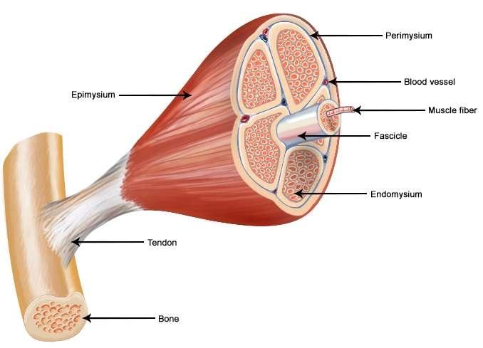 Pengertian Otot Lurik Adalah Ciri Ciri, Sifat, Cara Kerja, Fungsi, Struktur dan Jenis
