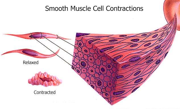 Pengertian Otot Polos Adalah Struktur, Proses Kontraksi, Ciri Ciri, Fungsi dan Macam Jenis