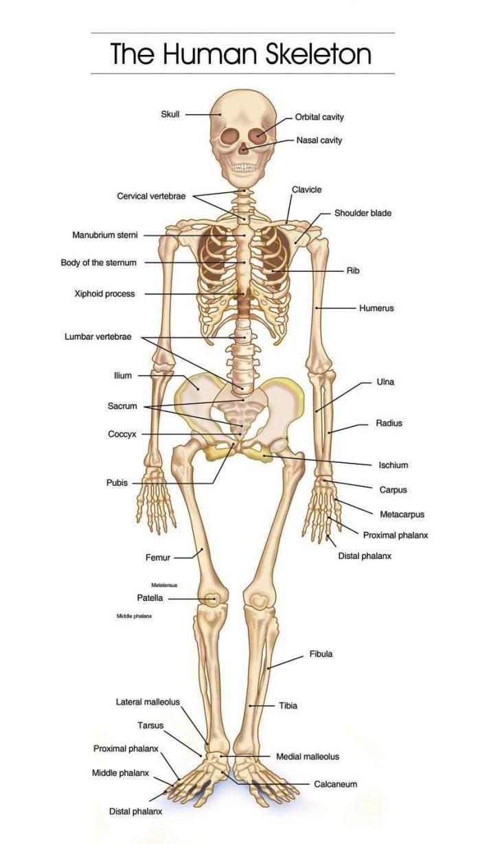 Pengertian Tulang - Fungsi, Macam Jenis dan Contoh