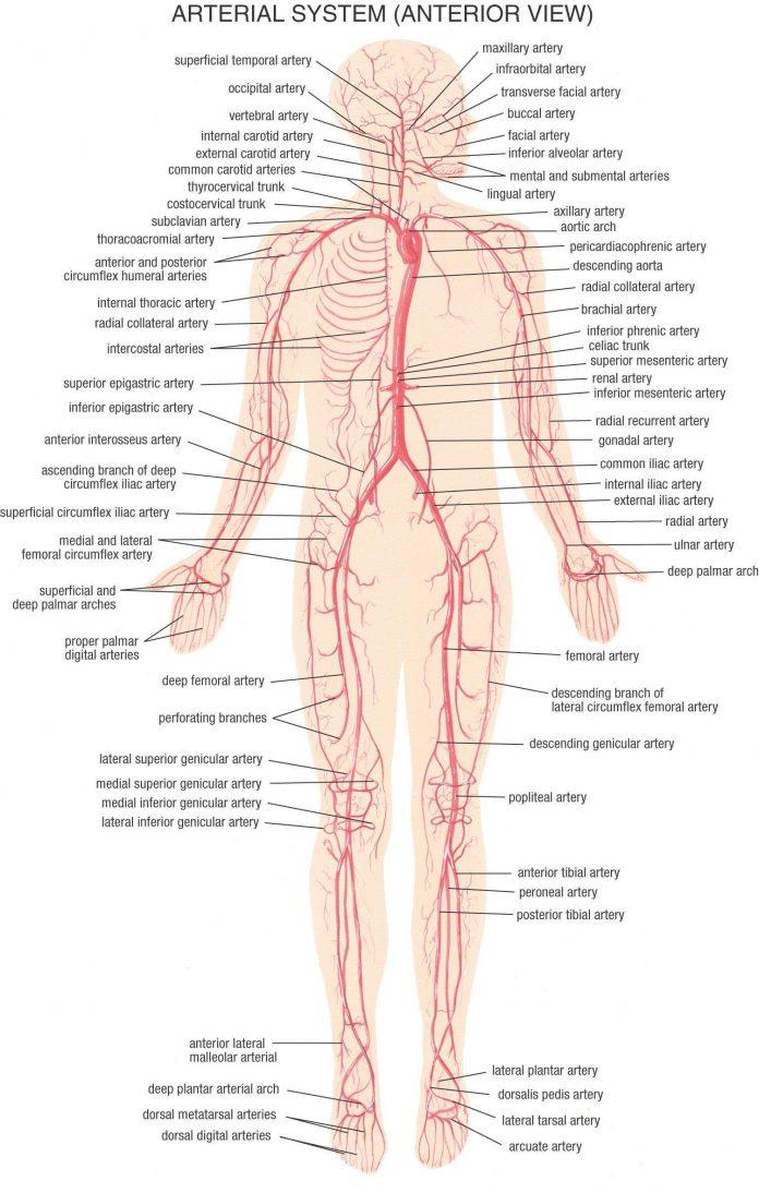 Pengertian Pembuluh Nadi Adalah Fungsi, Ciri, Struktur dan Jenis