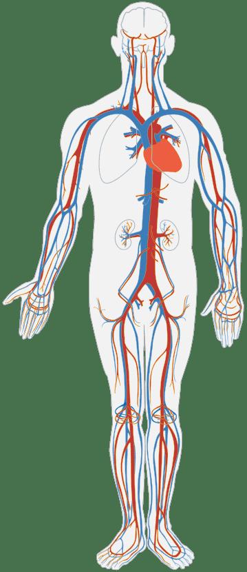 Sistem Peredaran Darah Manusia Adalah Fungsi, Organ dan Mekanisme