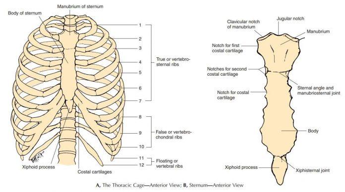 Tulang Dada Susunan, Ciri Ciri, Fungsi, Anatomi dan Proses Pembentukan