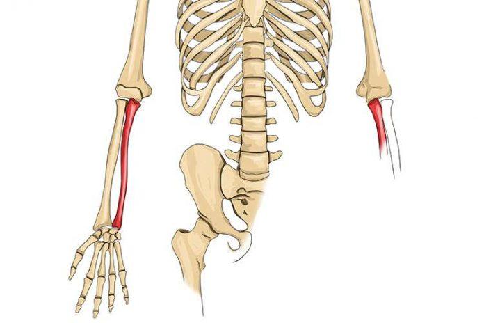 Tulang Hasta Adalah Pengertian, Bentuk, Fungsi, Struktur, Proses Pertumbuhan dan Bagian