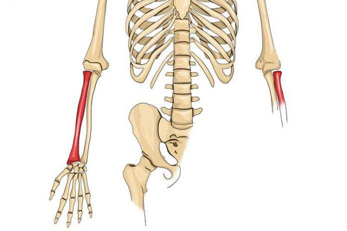 Tulang Pengumpil Adalah Pengertian, Fungsi, Struktur, Otot dan Karakteristik