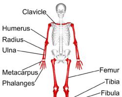 Tulang Pipa Adalah Pengertian, Ciri Ciri, Struktur, Fungsi, Pertumbuhan dan Jenis