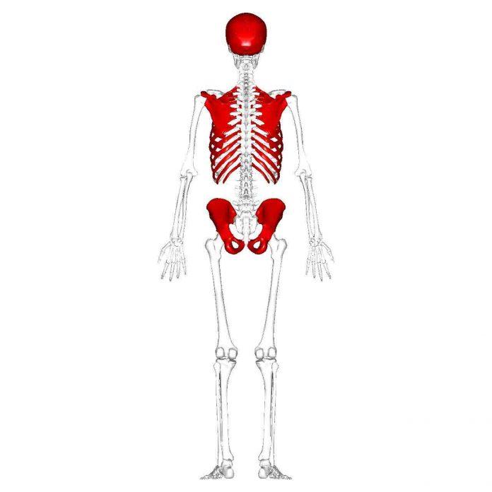 Tulang Pipih Pengertian, Struktur, Ciri Ciri, Fungsi dan Contoh