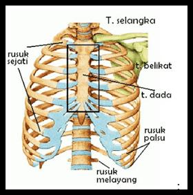 Tulang Rusuk Adalah Pengertian, Fungsi, Letak, Bagian