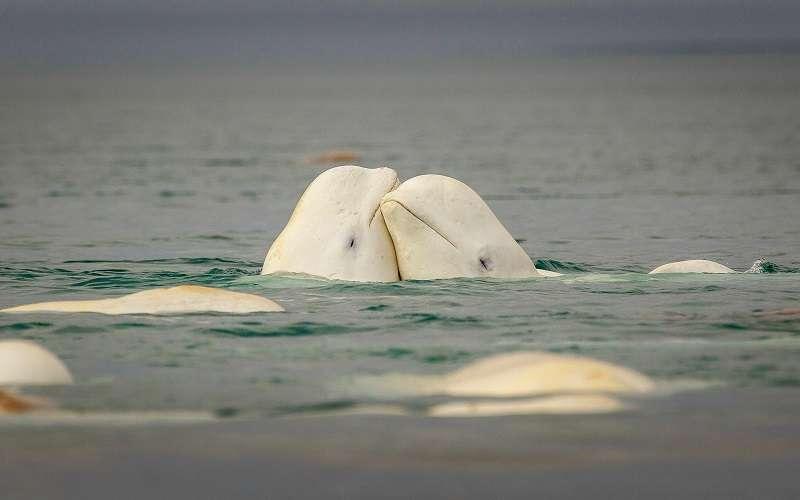 Reproduksi Paus Beluga