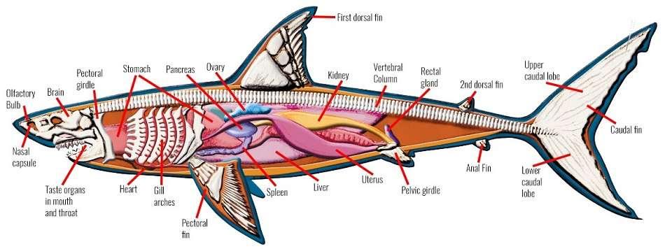 2 Anatomi Hiu Putih