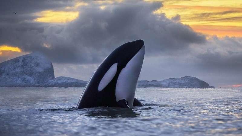 4 Evolusi Paus Orca Pembunuh