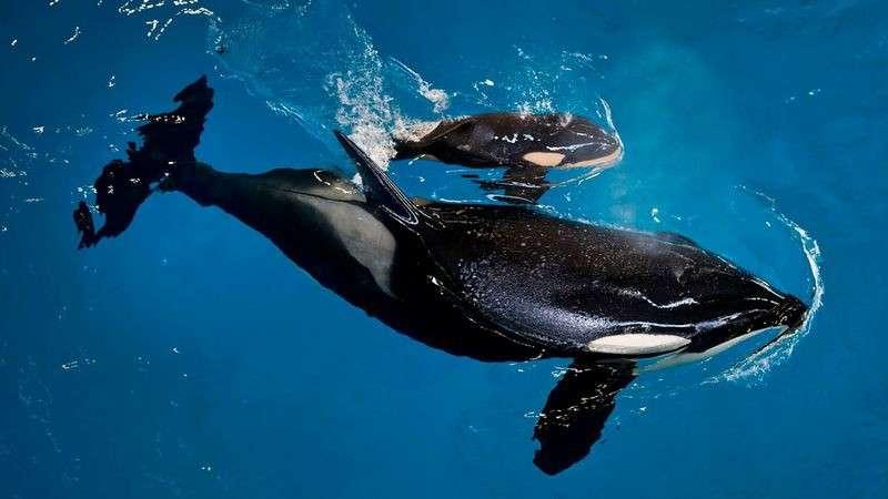 5 Penampilan Paus Orca
