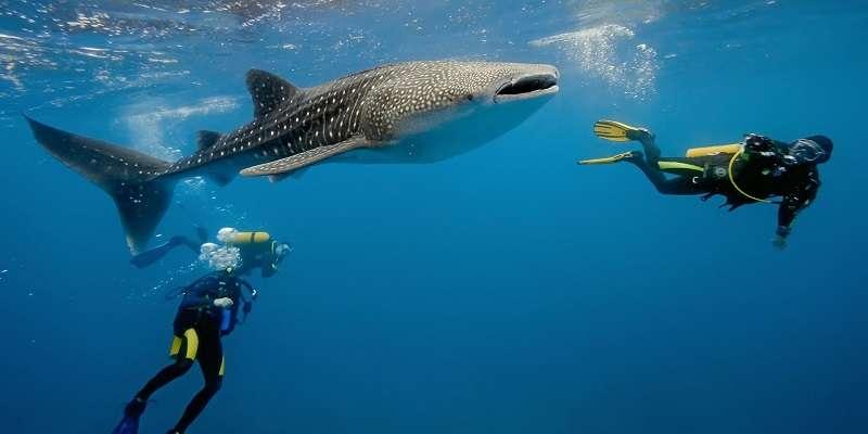6 Hiu Paus Bintik adalah Ikan yang Jinak