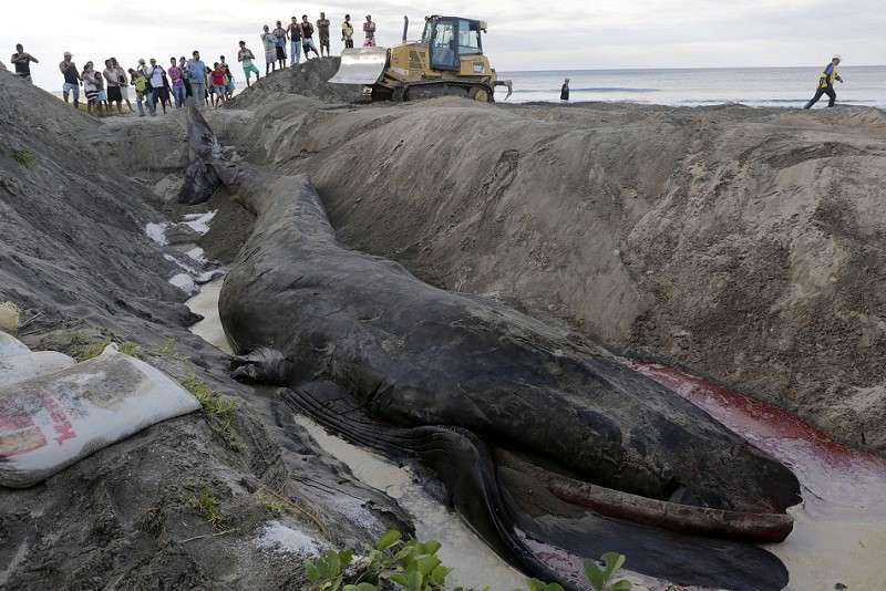 9 Blue Whale - Paus Biru Satwa Laut Di lindungi