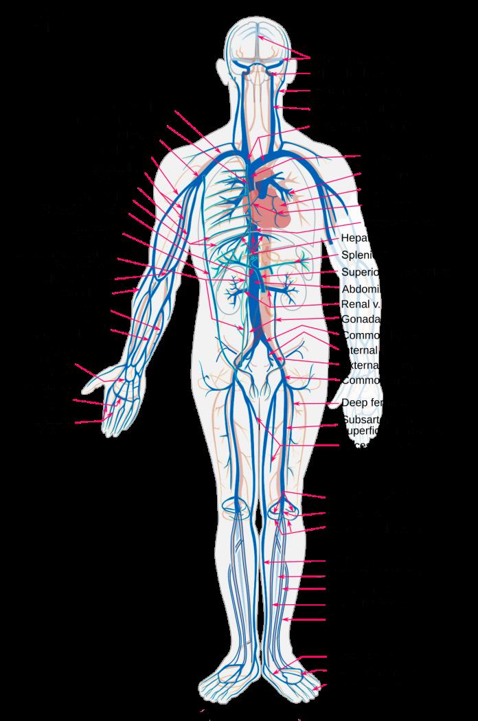 Gambar Anatomi Pembuluh Darah Vena Pada Tubuh Manusia