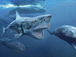 Pengertian Sejarah Hiu Megalodon - Bentuk, Ukuran, Habitat, Makanan, Kepunahan dan Foto Gambar