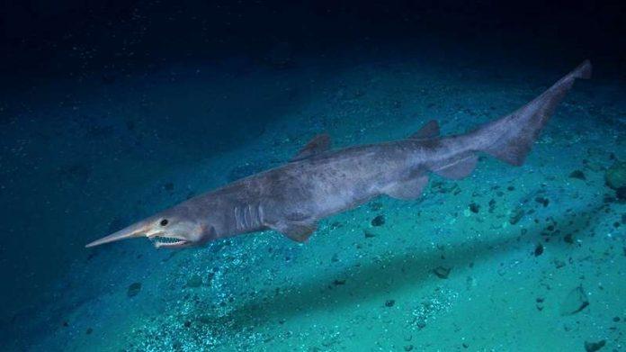 Ikan Hiu Goblin Adalah Pengertian, Sejarah, Klasifikasi, Persebaran, Makanan, Interaksi dan Foto Gambar