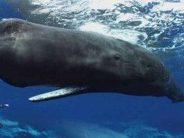 Manusia Foto Bersama Dengan Ikan Paus Sperma