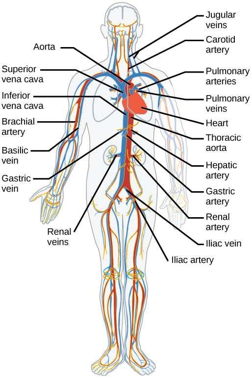 Pembuluh Darah Arteri Adalah Pengertian, Fungsi, Jenis Jenis, Struktur dan Lapisan