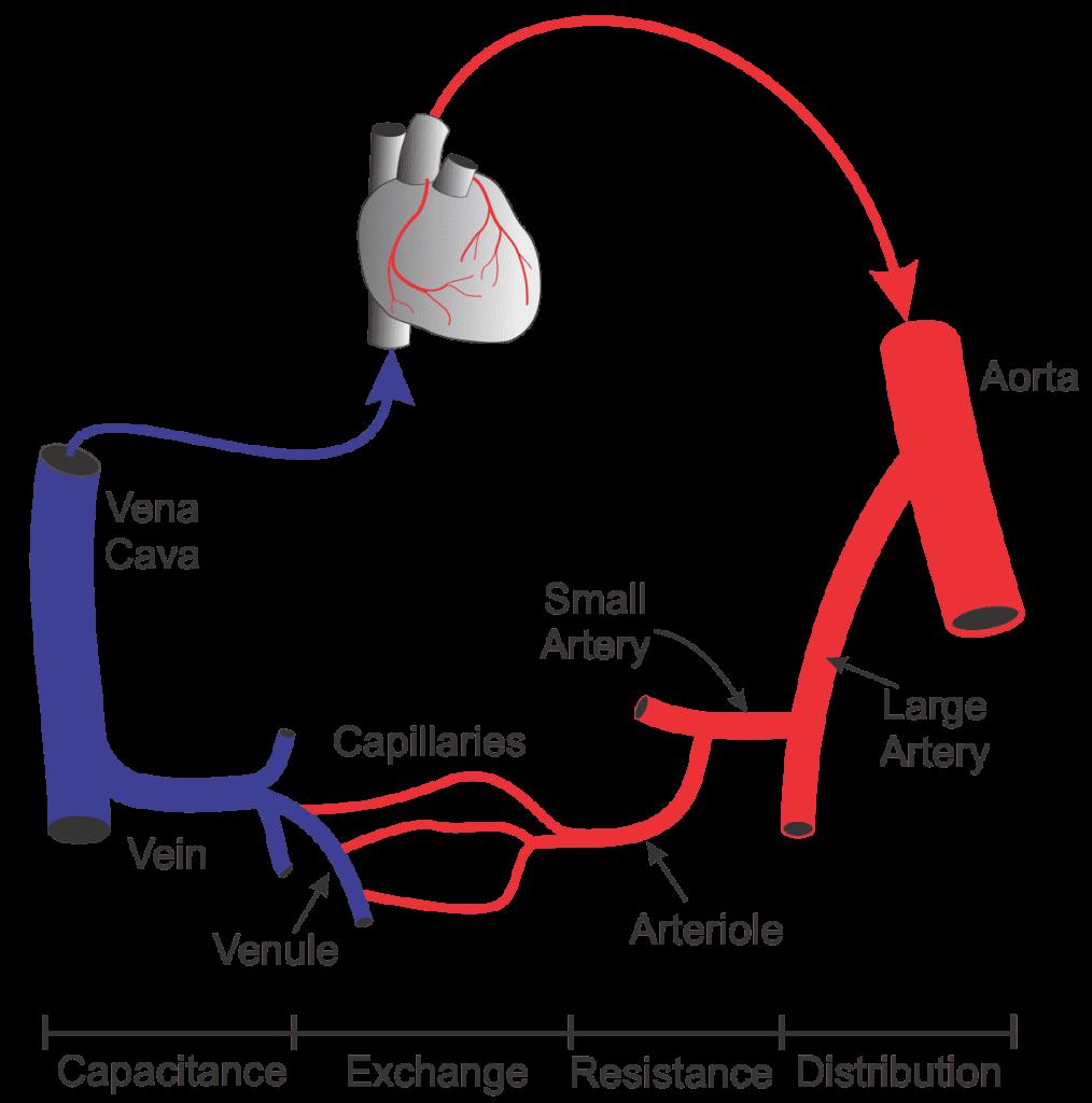 Pembuluh Darah Vena Adalah Pengertian, Ciri Ciri, Proses Kerja dan Gambar Anatomi