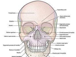 Tulang Tengkorak Pengertian, Fungsi, Struktur Bagian dan Kerusakan