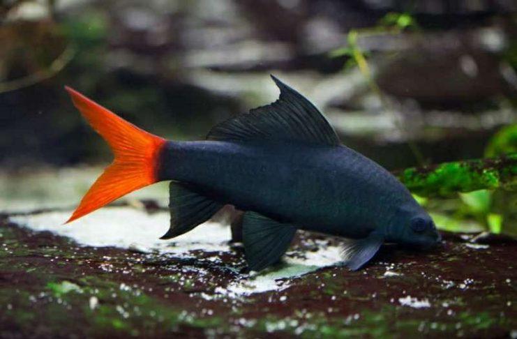 Perilaku Hiu Air Tawar Epalzeorhynchos bicolor
