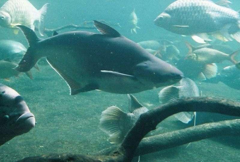 Syarat Air Untuk Hiu Air Tawar - Pangasiidae Shark